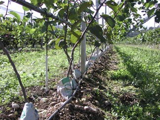 Summerkiwi for Kiwi coltivazione